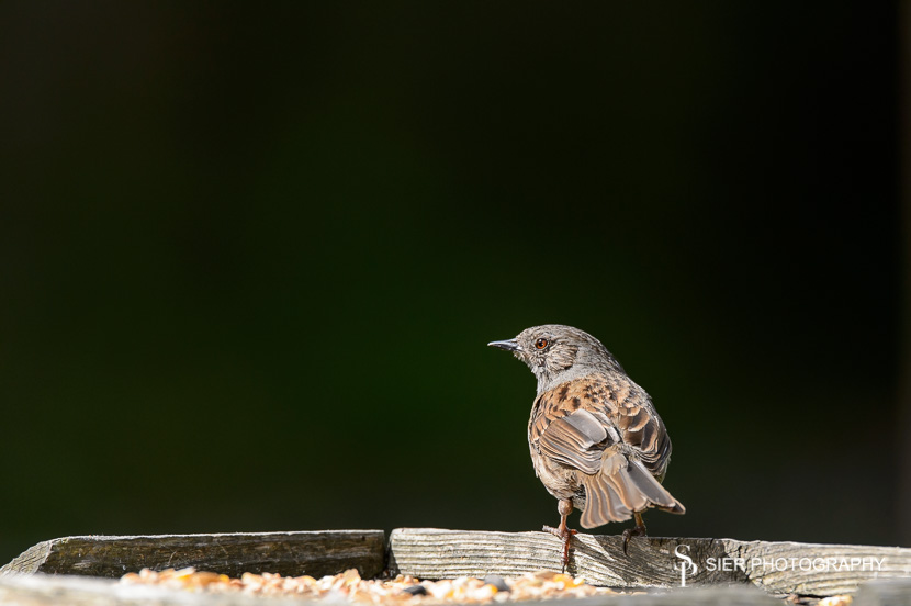 Dunnock sitting on a bird table keeping an eye out